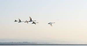 Внешний лебедь летания фото Стоковое Фото