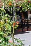 Внешний домашний огород с заводом томата Стоковое фото RF