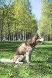 Внешний портрет белой и коричневой собаки сибирской лайки сидя на том основании в парке на солнечный летний день, отдыхая стоковое фото rf
