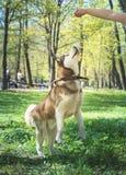 Внешний портрет белой и коричневой собаки сибирской лайки скача, стоящ на задних ногах, играя снаружи в парке стоковое фото rf