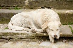 Внешняя белая собака спать Стоковая Фотография RF