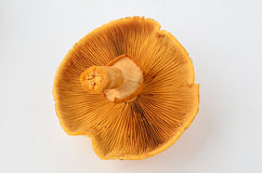 Внешняя сторона гриба Phaeolepiota Aurea Стоковые Изображения RF