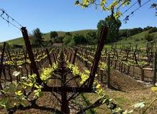 вниз виноградник рядка Стоковое Изображение