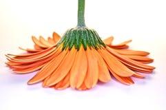 вниз внешняя сторона цветка Стоковое Изображение RF