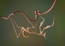 вниз внешняя сторона mantis Стоковые Фото