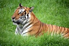 вниз класть тигра Стоковые Фотографии RF