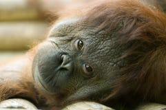 вниз лежа orang utan Стоковая Фотография RF