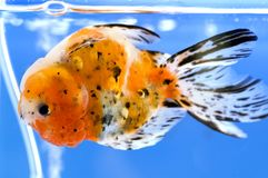 вниз плавая внешняя сторона goldfish Стоковое фото RF