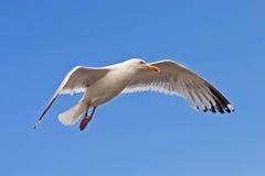вниз приземляясь чайка Стоковые Изображения