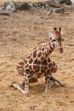 вниз giraffe сидит к пробовать Стоковое Изображение