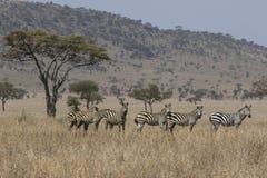 Внимание на группе в составе семьи зебры стоя в саванне близко Стоковые Изображения RF