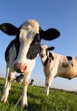 внимательные коровы Стоковые Фото