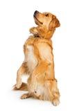 Внимательная собака золотого Retriever сидя вверх стоковые изображения
