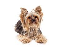 Внимательная собака йоркширского терьера кладя смотреть вперед стоковые изображения