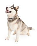 Внимательная собака сибирской лайки сидя под углом стоковое фото rf