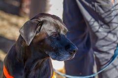внимательная собака Стоковая Фотография