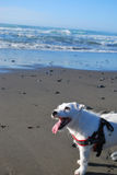 Внимательное Джек Рассел на пляже Стоковая Фотография