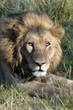 Внимательный лев Ботсвана Том Wurl Стоковое Фото
