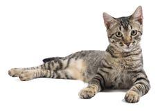 Внимательный кот лежа вниз на белой предпосылке стоковое изображение rf