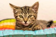 Внимательный серый котенок стоковое изображение rf
