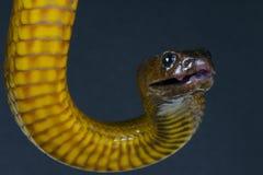 Внутреннее microlepidotus тайпана/Oxyuranus стоковое фото rf