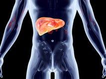 Внутренние органы - печенка Стоковое фото RF