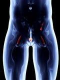 Внутренние органы - простата иллюстрация штока