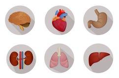 Внутренние человеческие органы плоские Стоковые Фото