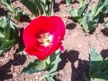Внутренний бортовой красный одиночный тюльпан Стоковые Изображения