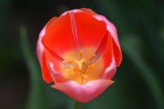 Внутренний зацветая тюльпан Стоковые Фотографии RF