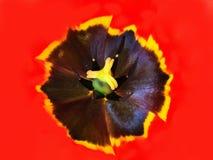 Внутренний крупный план тюльпана Стоковые Изображения