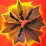 внутренний тюльпан Стоковая Фотография