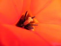 внутренний тюльпан Стоковые Изображения