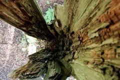 Внутри гнить шелухи ствола дерева стоковое изображение rf