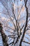 Внутри дерева березы в зиме Стоковая Фотография RF