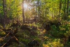 Внутри лета смешанный карельский лес Стоковая Фотография RF