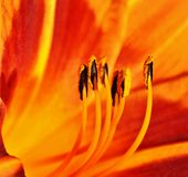 Внутри оранжевой лилии Стоковая Фотография RF