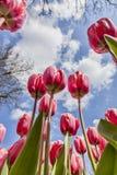 Внутри поля тюльпанов Стоковые Фотографии RF