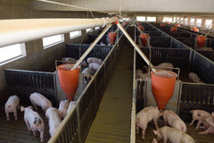 Внутри свинофермы для Стоковое Фото
