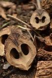 Внутри черных грецких орехов на земле стоковое изображение rf