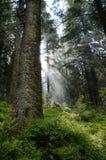 Внутри coniferous леса в прикарпатских горах. стоковые изображения rf