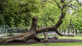 Внушительное curvy взбираясь дерево Стоковая Фотография
