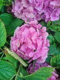 Внушительный розовый/фиолетовый цветок с листьями от сада Стоковые Изображения