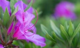 Внушительный розовый цветок азалии Стоковое Фото