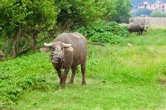 вода азиатского буйвола отечественная Стоковое фото RF