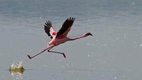 вода бега пинка фламингоов Стоковые Фото