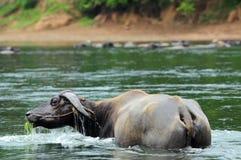 вода буйвола освежая Стоковая Фотография