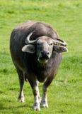 вода буйвола Стоковая Фотография RF
