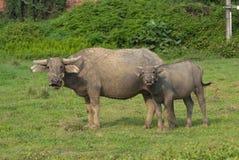 вода буйвола Стоковая Фотография