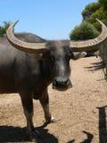 вода буйвола Стоковые Фото